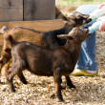 ������, ������: Bottle Feed Goats