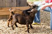 Bottle Feed Goats — Stock Photo