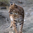 Bobcat — Stock Photo