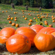 Pumkin Patch — Stock Photo