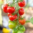 Stock Photo: Bunch of cherry tomatoes