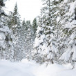 Winter wild forest — Foto de Stock