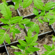 Young tomato seedlings — Stock Photo #18758643
