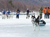 Trineos tirados por perros en el baikal pesca 2012 — Foto de Stock