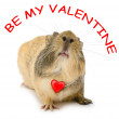 Valentine cavy — Stock Photo
