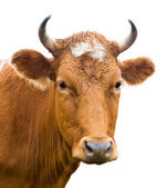 Head of cow, isolated — Stock Photo