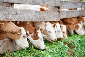 Calves eating green grass — Stock Photo