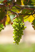 Bunch of grapes on vine — Stock Photo