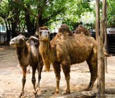 Camels at zoo — Stock Photo