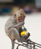 обезьяны едят кукурузные — Стоковое фото