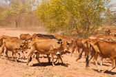 Herd of cattle — Stock Photo