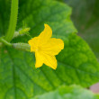 Flowering cucumber — Stock Photo