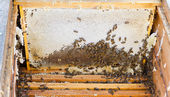 Bees in open beehive — Stock Photo