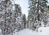 Winter taiga — Stock Photo