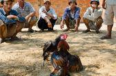 Cockfight, Vietnam — Stock Photo
