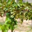 Vine with small bunch of grapes — Stock Photo
