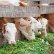 Farm calves eat green grass — Stock Photo #41464387