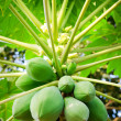 Papaya tree with bunch of fruits — Stock Photo #12141517