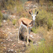 Stock Photo: Springbok antelope (Antidorcas marsupialis), South Africa.