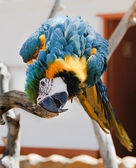 Playful big parrot on a branch — Stock Photo