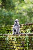 古代在墙上,热带森林的猴子 — 图库照片