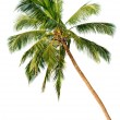 Palm isolated on white background — Stock Photo