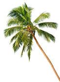 Beyaz arka plan üzerinde izole palm — Stok fotoğraf