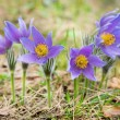 Pasque flower in a forest — Stock Photo