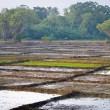 Rice fields divided on many lots — Photo