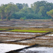 Rice fields divided on many lots — Stock Photo #12438347