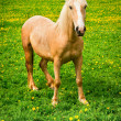 Stock Photo: Horse on green pasture