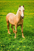 Horse on green pasture — Foto Stock