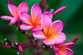 Pobočka tropických růžové květy — Stock fotografie