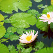 Pink water lilies and leaves in a pond - Stock Photo