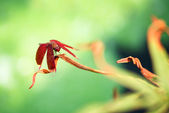 A red dragonfly at rest on a leaf — Stock Photo
