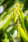 Female Golden Web Spider (Nephila pilipes), Bali, Indonesia. — Stock Photo