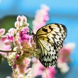 White and black Nymph butterfly on flowers — Stock Photo #17817591
