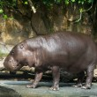 Hippopotamus pygmy — Stock Photo