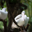 Australian Pelican (Pelecanus conspicillatus) on a tree — Stock Photo