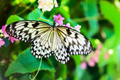 White and black Nimph butterfly on flowers — Stock Photo