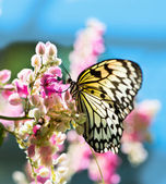 White and black Nymph butterfly on flowers — Stock Photo