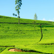 Stock Photo: Ceylon tea
