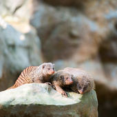 Three banded mongooses — Stock Photo