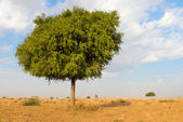 One rhejri tree in desert undet blue sky — Stock Photo