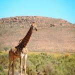giraffa selvatica nell'area del bush africano — Foto Stock #22476019