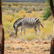 Zebra in wild african bush - Stock Photo