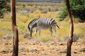 Zebra in wild african bush — Stock Photo
