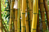 Yellow bamboo forest — Stock Photo