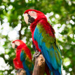 Big macaw parrots in nature — Stock Photo