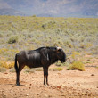 Blue wildebeest antelope in African savanna - Stock Photo